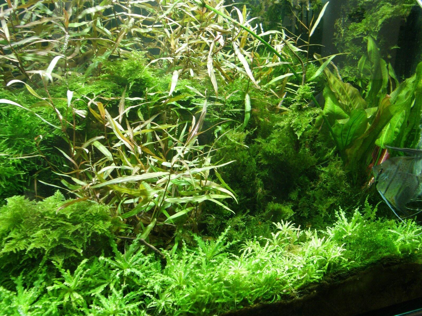XXL Afrika Wasserpflanzen Set für Aquarium 400-500 l, günstige Aquarienpflanzen