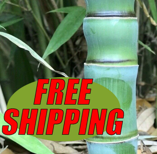 3 PACK /'Fish Pole/' Golden Bamboo 12 in Rhizomes//Root w ACTIVE BUDS *Privacy Wall
