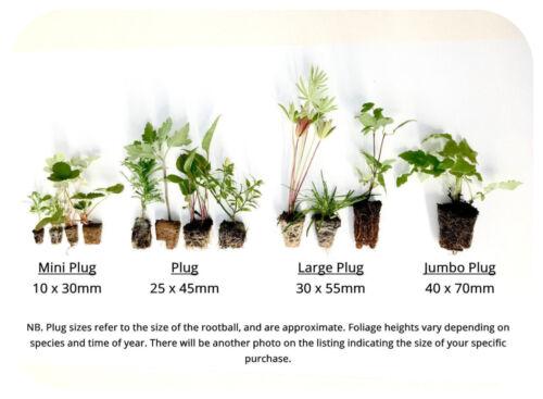 Jasmine Officianle plug plant x 3 Jasminum