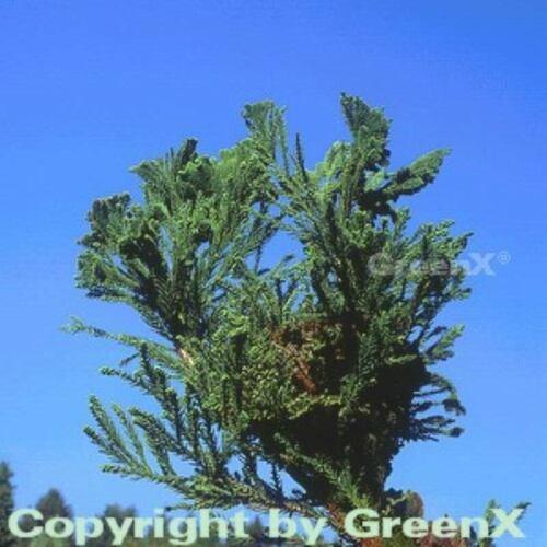 Cryptomeria japonica Hahnenkamm Sicheltanne Cristata 20-25cm