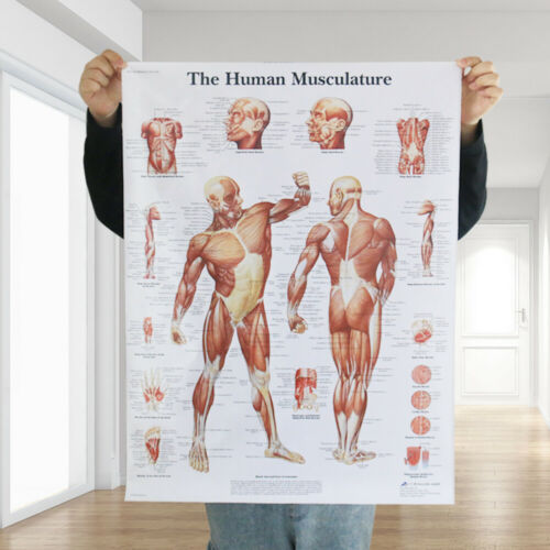 Human Anatomy Body Muscles Map Distribution Hospital Large Poster Map DIY