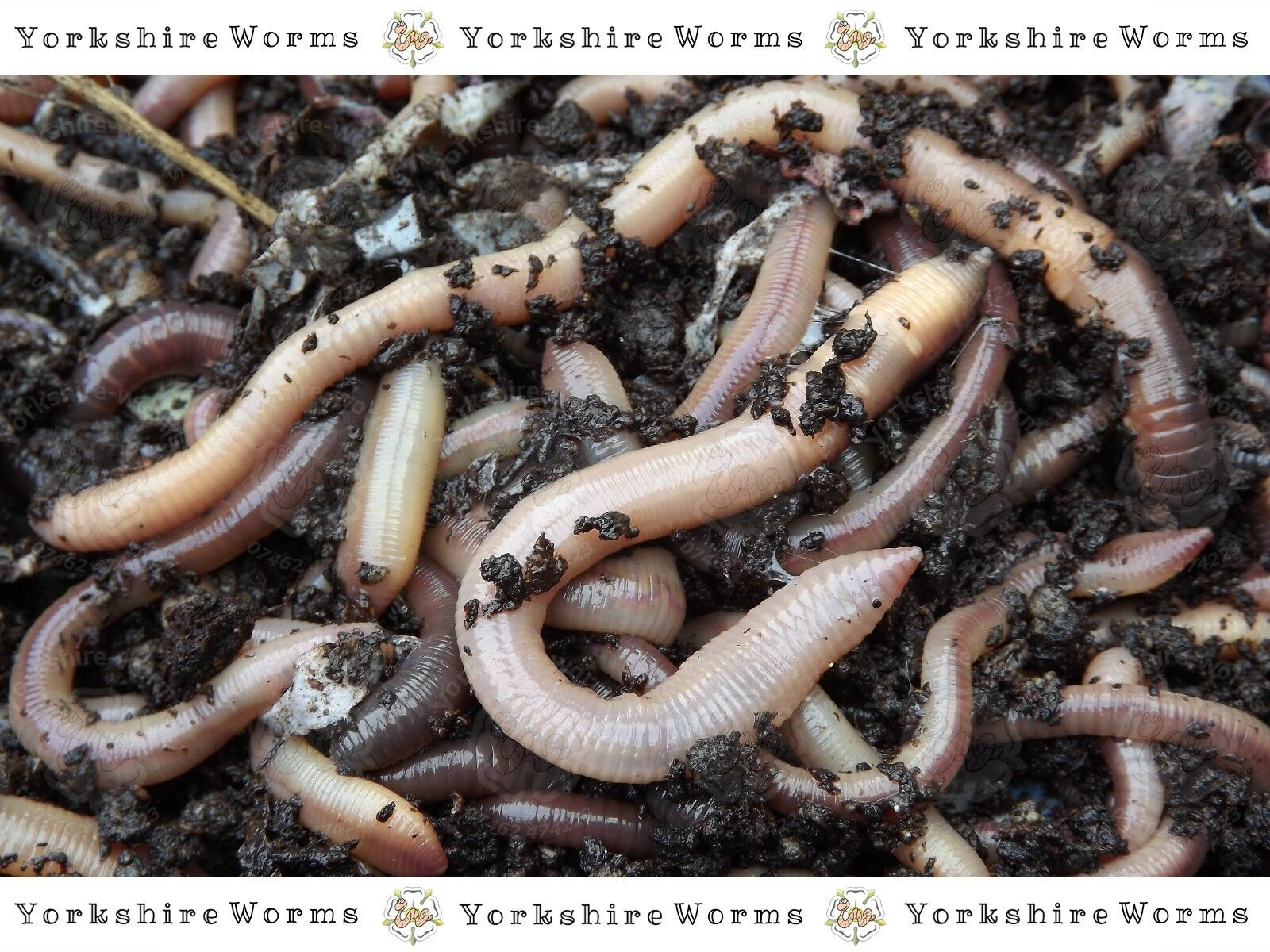 Lob Worms Earthworms Large Fishing Bait & Reptile Live Food Gardens (10 to 300)