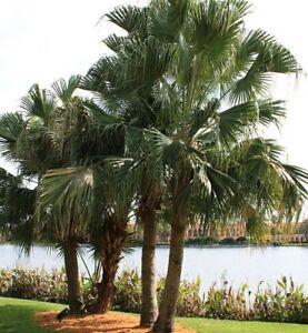 20-x-RIBBON-FAN-PALM-Livistona-decipiens-native-Weeping-Cabbage-Palm-plants-50mm