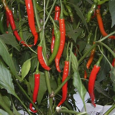 VEGETABLE  HOT CHILLI PEPPER CURRY CHILLI F1  10 FINEST SEEDS