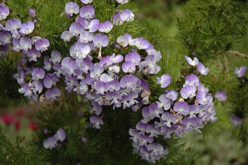 Psoralea pinninata 5 seeds