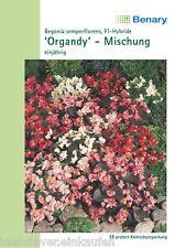 Eisbegonien Apfelblüten Begonia Semperflorens Organdy F1Mix 120 Korn Benary
