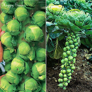 BRUSSEL-SPROUTS-A-mid-late-variety-600-SEEDS