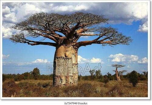 Poster Big Baoba Tree In Savanna Wall Art Art//Canvas Print Home Decor