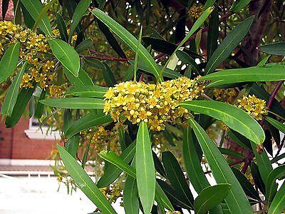 WATER GUM / KANOOKA (Tristaniopsis Laurina)  Seeds