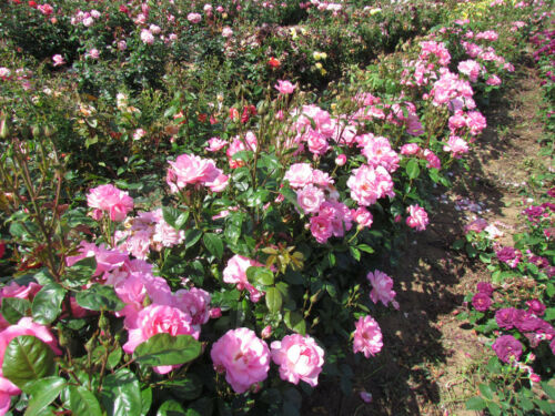 4lt Potted Floribunda Garden Bush Rose CLIFF RICHARD Pink//Silver Reverse