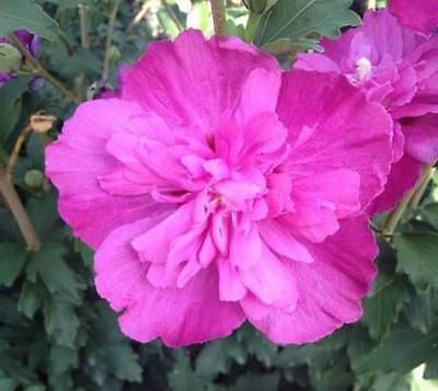 Raspberry Smoothie Hibiscu (Althea)-Rose Of Sharon-Live Plant-Trade Gallon Pot