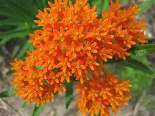 ORANGE BUTTERFLY MILKWEED Asclepias Flower Seeds  (15 seeds) F-112