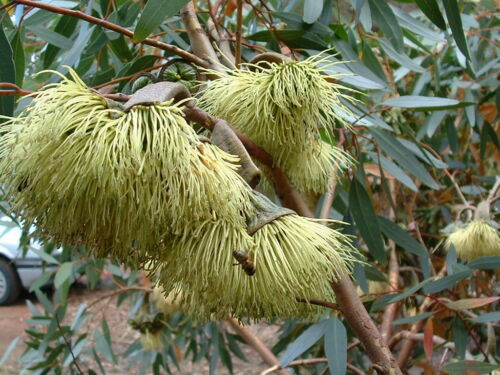 Eucalyptus Collection Two 4 species 12 seeds each