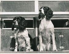 ÉPAGNEUL c. 1950 - Chiens de Chasse Grand Format - CH 37
