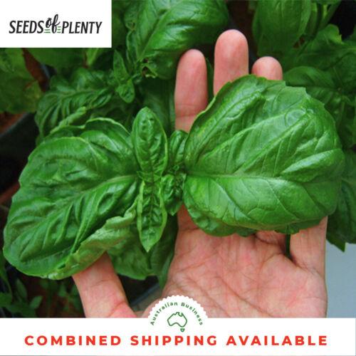 PESTO BASIL Bulk BASIL Italian Large Leaf 1500 Seeds