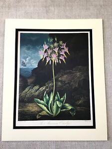 Vintage-Botanical-Print-American-Cowslip-Flower-Floral-Temple-of-Flora-LARGE
