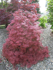 Acer-palmatum-Dissectum-Garnet-roter-Schlitzahorn-70-80cm-Japanahorn