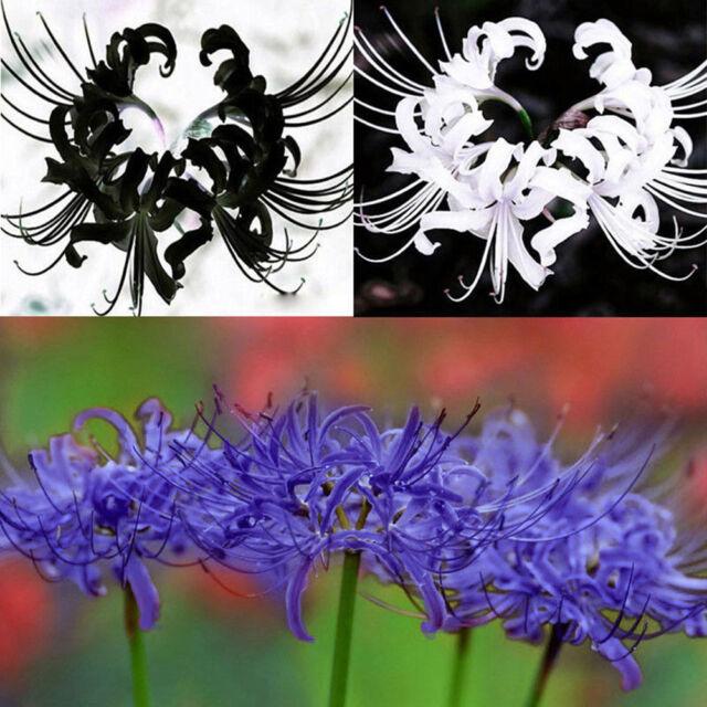 5Pcs Bulbs Lycoris Radiata Spider Lily Bulb Seeds Garden Flower Decor Pretty