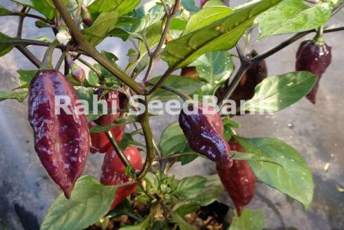 OZ Grown Trinidad Scorpion X Pimenta Morango Stunning but Hot Chilli Variety