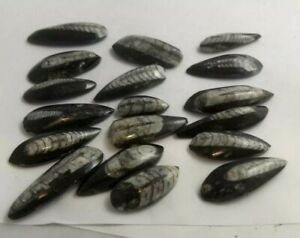 Orthoceras-fossils-1in-2in-Morocco-1-piece-read-description