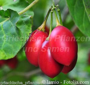 Baum-Tomate-Tamarillo-rot-Tomaten-MEHRJAHRIG-6-frische-Samen-Balkon