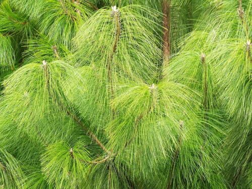 Pinus patula Ocote Nacho Mexican Weeping Pine 30 seeds FREE SHIPPING