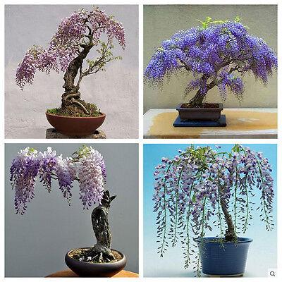 10 seeds of purple wisteria bonsai tree home grow flowers