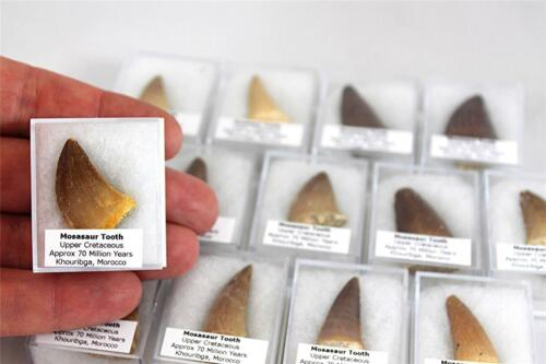 S.V.F - Mosasaur Tooth in display box,  Geological gift. Marine Reptile