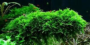 Acquista-2-ottenere-1-GRATIS-Christmas-moss-LIVE-AQUARIUM-PLANT-pianta-acquatica-muschio-di-Giava