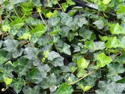10 Stück Efeu Hedera hibernica immergrüner Bodendecker