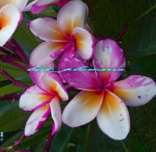 Plumeria Seeds//Flowers//Ngamvilai//Fresh 50 seeds!!