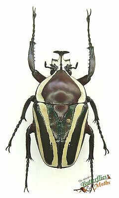 Dicronorrhina derbyana SET x1 Male Huge beetle *NICE* Entomology Insect Specimen