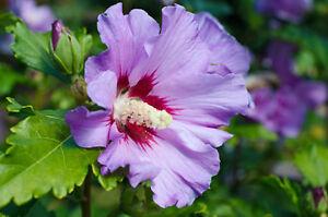 Winterhart-Pflanzen-Samen-exotische-Saatgut-Zierpflanze-Strauch-GARTENEIBISCH