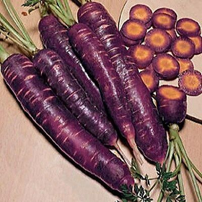 CARROT PURPLE - DRAGON - 500 FINEST SEEDS