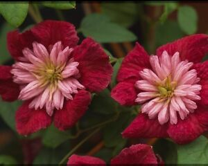 Clematis viticella avant garde evipo033 red and pale pink flowers image is loading clematis viticella avant garde 039 evipo033 039 red mightylinksfo