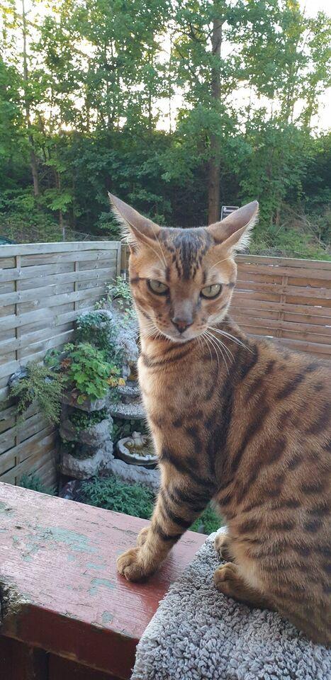 Bengalsk kat til salg