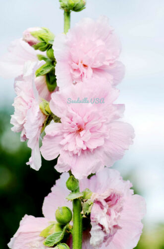 50 Nain Double Rose Trémière Majorette Mélange Alcea Rouge Blanc Fleur Semences