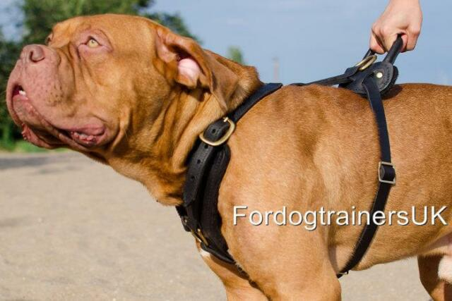 Dogue De Bordeaux Harness Handmade By Professionals   Comfortable Dog Harness