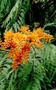 Seedeo ® Corail Pluie Colvillea Racemosa 7 Graines-afficher Le Titre D'origine ArôMe Parfumé