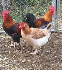 New Listing12 Standard Wheaten Blue Wheaten Marans Hatching Eggs