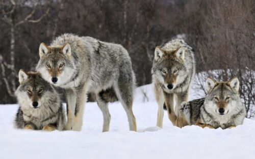 Wolf Print Large 13 x 19  High Quality Print Gray Wolves