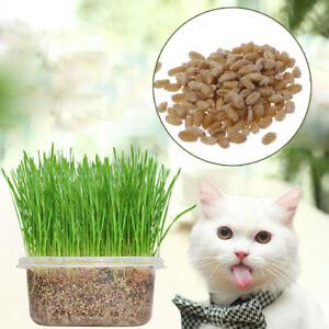 400PCS-Organic-Cat-Grass-Seeds-Wheat-Catnip-Healthy-Treat-Plant-For-Pets
