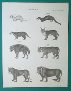 MAMMALS-Lynx-Tiger-Lion-Lioness-Hyena-Civet-Ferret-1818-Antique-Print