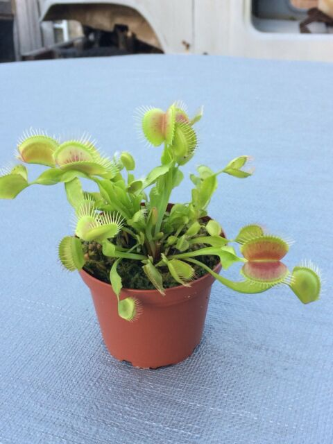 DIONAEA MUSCIPULA Carnivorous Plant Venus Fly Trap Seeds -30 Fresh Seeds