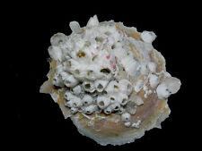 Formosa/shells/Stellaria chinensis 92mm