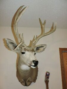 Droptine Drop Tine Mule Deer Head Shoulder Mount Taxidermy Antler Hunt Whitetail Ebay