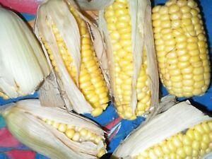 25 China YELLOW sticky waxy high glutinous Asian Corn imported seeds non