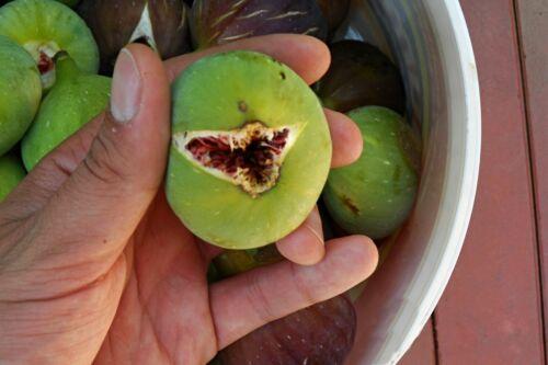 """Greek Fig Tree /""""peloponnisiaka aspra/"""" ~ 40 top qualité Graines-extra Rare fig"""