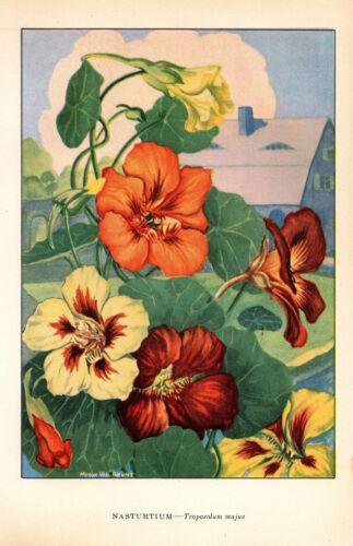 """1926 Vintage GARDEN FLOWER /""""NASTURTIUM/"""" GORGEOUS COLOR Art Print Lithograph"""