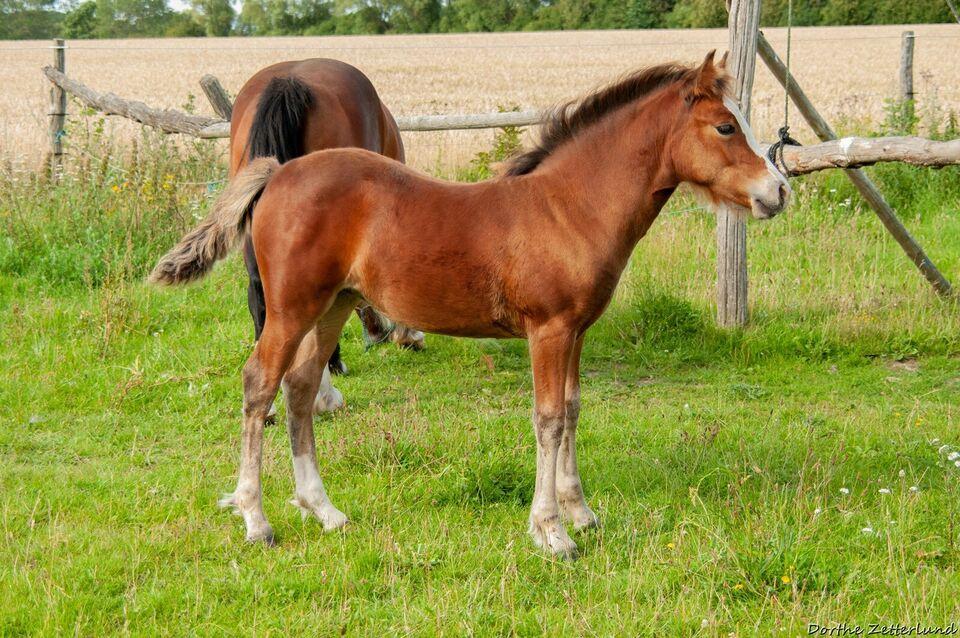 Welsh pony af cobtype